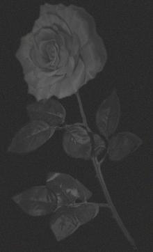 rosedivider